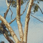 calif_trees_eucalyptus_twisted