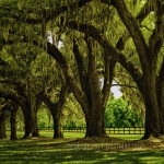 row of live oaks and fenced pastureland