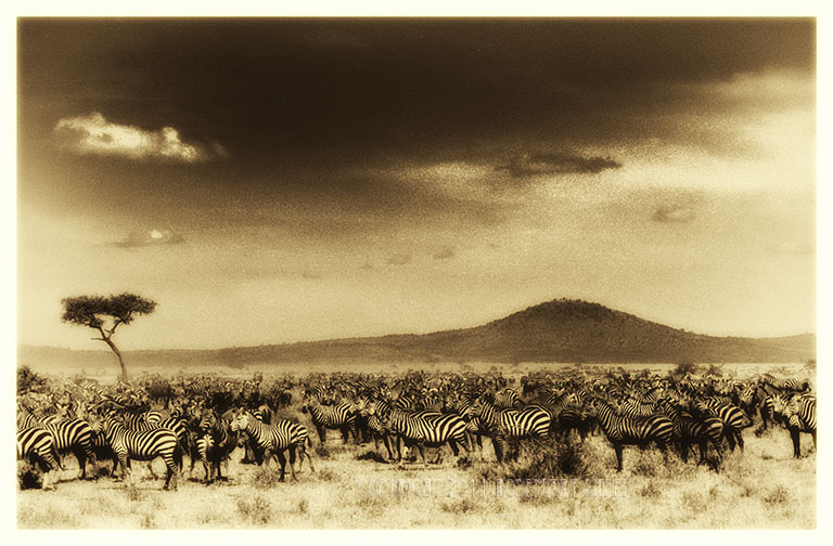 Zebra herd on the Serengeti