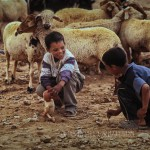 boys play in the midst of a flock of sheep