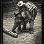 Elephant logging in Thailand