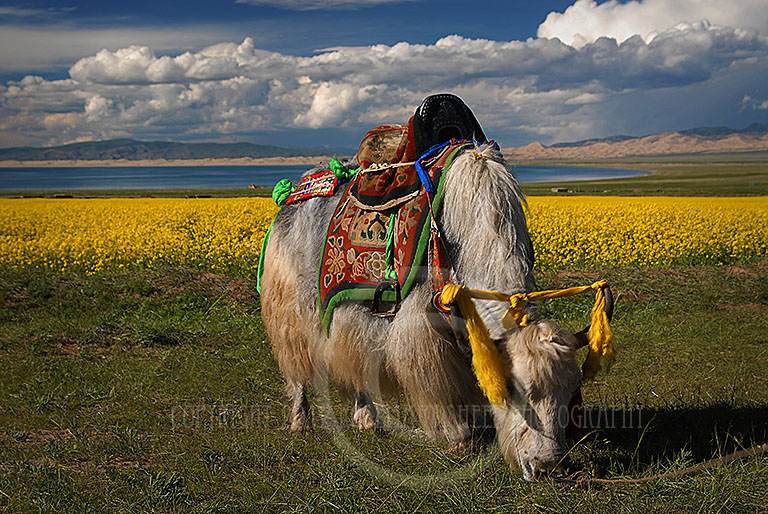 Tibetan Yak saddled