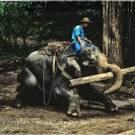 Young elephant logging in jungles of Thailand