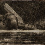 Baby Elephant bathes in Thai river