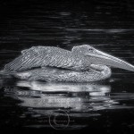 glowing black and white photograph of a pelican swimming