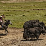 Tibetan cowboys, mounted, herd yak toward Yushu, Quinghai Provence, China