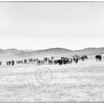 A Mongolian man crosses the empty steppes of Mongolia with his herd of horses